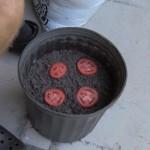 Muž dal do květináče 4 tenké plátky rajčete. Neuvěříte, co se stalo!