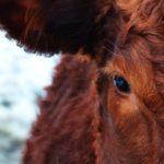 Záhada švýcarských sebevražedných krav vyřešena. Farmáři chtěli podpořit jejich dojivost písničkami od kapely Ortel. Krávy se raději zabily