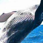 """Japonští rybáři chtějí bojovat proti velrybám polykajícím plasty. """"Do roku 2025 je všechny ulovíme!"""""""