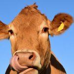 Pití kravského mléka u žen způsobuje, že se občas chovají jako krávy