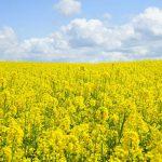 AČR nahradí vzor 95 novým žlutým vzorem pro maskování v řepkových lánech